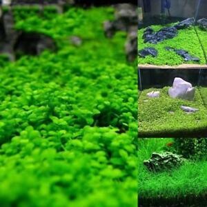 Fish-Tank-Aquarium-Plant-Seeds-Aquatic-Water-Grass-Garden-Foreground-Plant-GE