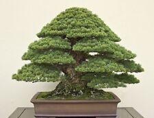 Bonsai seeds - Japanese Black Pine seeds Pinus Thunbergii