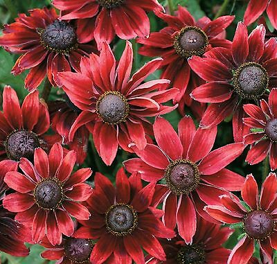BLACK-EYED SUSAN * Cherry Brandy * DWARF Rudbeckia hirta *GREAT NEW COLOR* SEEDS
