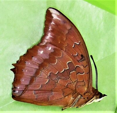 Shining Red Charaxes Butterfly Charaxes zingha Male Folded FAST FROM USA