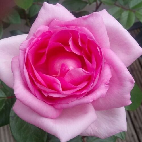 Mum in a Million Gift Wrapped Hybrid Tea Rose Bush Mothers Day Gift