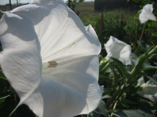 Details about  /Datura Meteloides'Evening Fragrance'VERY Fragrant50 SeedsFREE SHIP