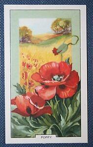 WILD-POPPY-Superb-1930-039-s-Vintage-Colour-Card-VGC