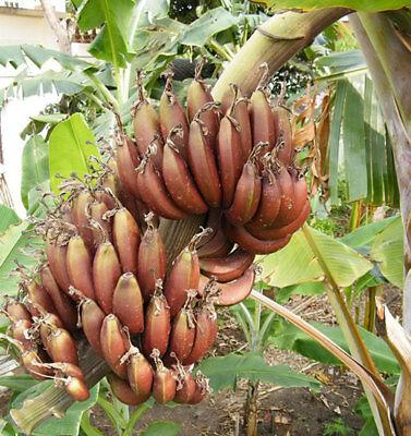 Bulb MUSA AAA GROUP KLUAI KHAI PRATABONG Banana Plant Phytosanitary Certificate