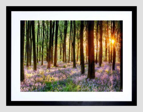 BLUEBELL WOOD SUNRISE TREE BLACK FRAME FRAMED ART PRINT PICTURE MOUNT B12X8949