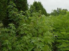 SILVER MAPLE TREES Acer Sacchainum 1-2' LOT OF 10
