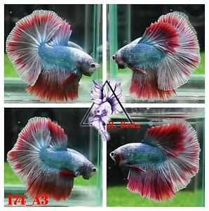[174_A3]Live Betta Fish High Quality Male Fancy Over Halfmoon 📸Video Included📸