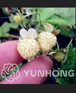 Pineberry-Bonsai-500-Pcs-Seeds-Garden-Fruits-And-Vegetable-White-Berries-NEW-R-U