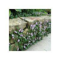 Outdoor Ivy Graden Decor - 4000 Seeds - Live Plant Best Gift