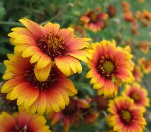 Blanketflower gaillardia perennial easy grow blanket flower 100 image is loading blanketflower gaillardia perennial easy grow blanket flower 100 mightylinksfo