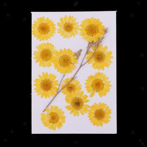12-Pressed-Dried-Flower-Dry-Chrysanthemum-for-DIY-Craft-Bookmark-Card-Making