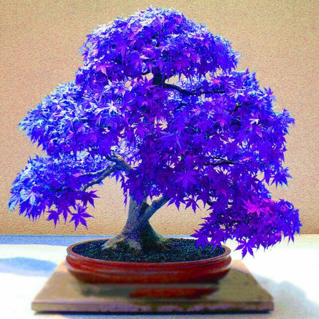 10Pcs Rare Blue Maple Seeds Maple Seeds Bonsai Tree Plants Potted New,uk,de W6J7