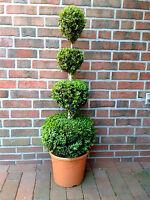 Buchsbaum 4er-kugel , Buxus , Höhe: 120-130 Cm, Bonsai, Formschnitt