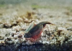 Triops Longicaudatus Arizona Élevage Approche Avec Haricots-oeufs Dans Le Sable-mélange