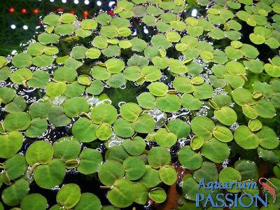 Piante galleggianti acquatiche depurative rapide per for Piante acquisto