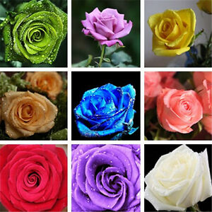 600-Pcs-Home-and-Garden-Plants-Seeds-Beautiful-Romantic-Rose-Flower-Seeds