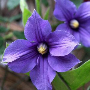 300pcs Blaue Clematis Blumen Pflanzen Samen Garten Topf Samen