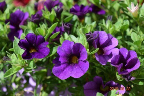PETUNIA kabloom calibrachoa Series Blu Profondo 20 semi di qualità fresche