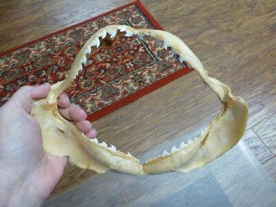 """6/"""" Tawny Nurse SHARK jaw species carpet sharks I love jaws teeth sj275-30-1"""