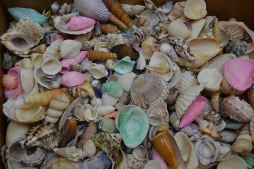 1000 PCS ASSORT MIX SEA SHELLS BEACH CRAFT WEDDING 8 LBS #T-1948