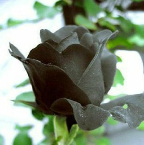 Black Rose Flower Seeds Rare Garden Plants - AU Stock