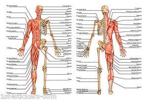 Anatomie Du Corps Humain l'anatomie humaine corps / os détaillées poster imprimé grande