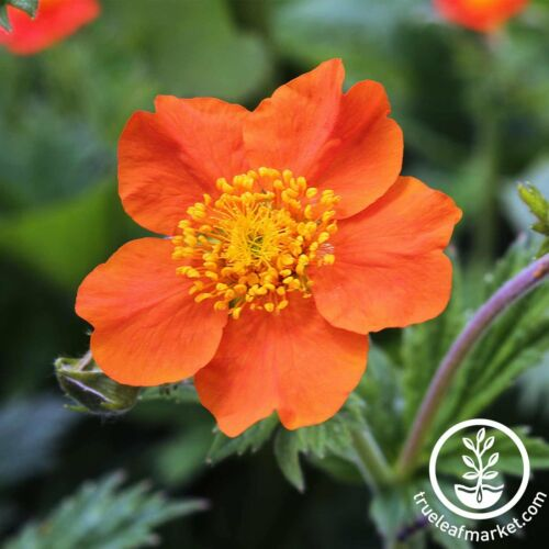 Graines Geum Rouge Mme Bradshaw nouvelle saison plante vivace sécheresse Résistant
