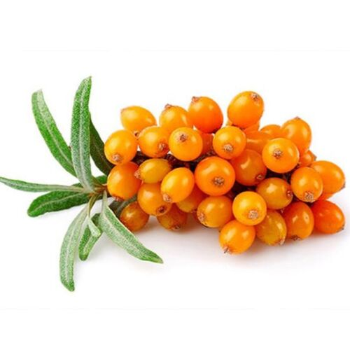 Argousier Orange arbuste Hippophae Rhamnoides RARE comestibles Berry Seeds 10 pcs