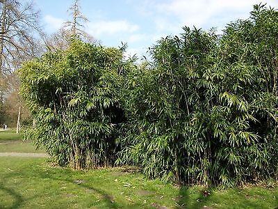 Semi Piante Inverno Duro Duro Gelo Giardino Alieni Sementi Perenne Mostro Bambù-mostra Il Titolo Originale
