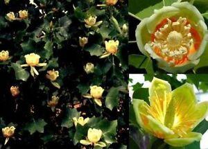 Tulpen baum bl hende str ucher pflanzen duftkr uter kraut for Balkon baum winterhart