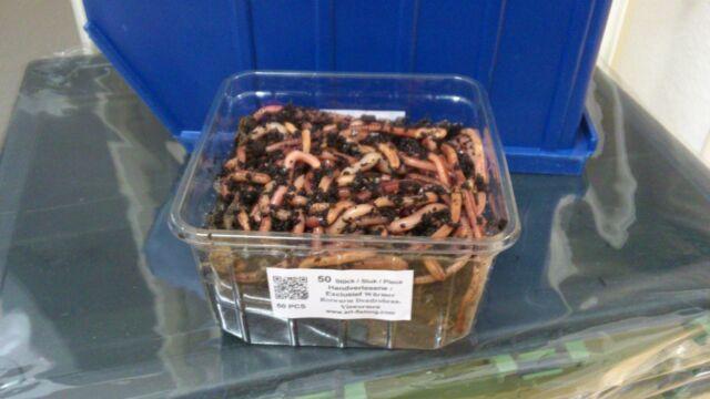 Würmer 50 Stück Dendrobena, Angelköder frisch & lebend inkl. Behälter & Erde