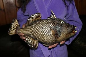 """Real Triggerfish Dried Great party Decor 18""""-19"""""""