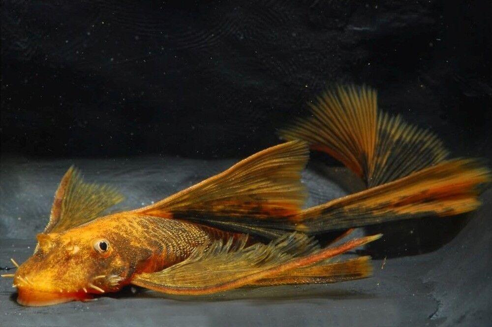 6 (sei) x Ancistrus SP. Rosso Nero Lungo Fin (pesce gatto)