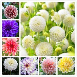 2-Pcs-bag-Rare-Dahlia-Bulbs-Four-Seasons-Flower-Mix-Colors-Bonsai-Seeds-Pot-Plan