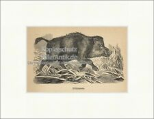 Wildschwein Keiler Allesfresser Eckzähne Jagdwild Bache Fell Holzstich E 20064