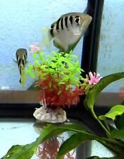 Archer Fish - Freshwater Species - Oddball Tropical Fish