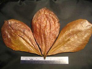 "5-7"" Premium Indian Almond Catappa Leaves Betta Discus Shrimp Quell Summer Thirst Honest Amy's 150 Small"