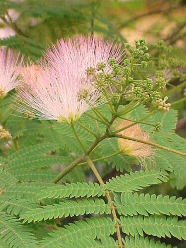 Rosea soie arbre 9 cm Pot veuillez lire description /& t/&cs Albizia julibrissin F
