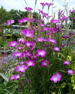 Wild Garden Flower Seeds INC FREE SEED OFFER UK SELLER Corncockle Pink