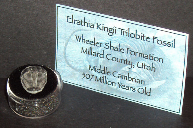 507 Million Year Old Trilobite (Elrathia Kingii) Fossil in Display Case!