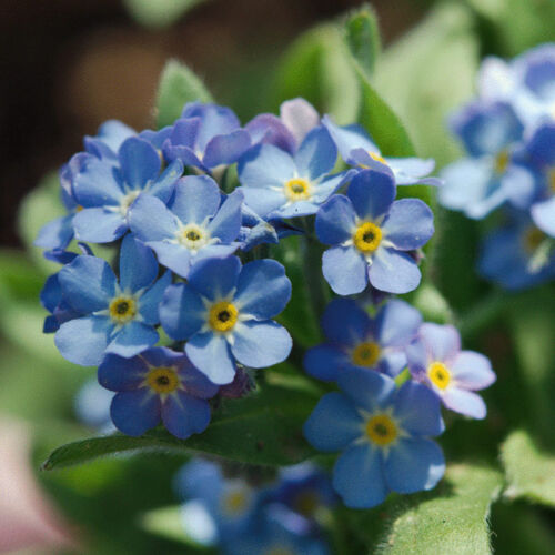F 315 MYOSOTIS Forget-me-not Blue Ball Seeds