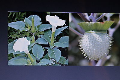 Mexikanischer Stecha innoxia Großblütiger Stechapfel 200 Samen Datura inoxia