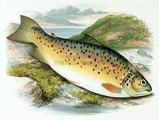 PAINTING ANIMAL FISH COMMON CARP LYDON ART PRINT POSTER LAH387A