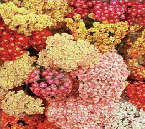 Fleur-Achillea millefolium-Baies d/'été mélangées 50 graines