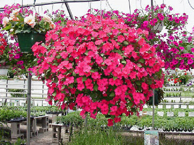 50 Impatiens Seeds Cascade Beauty Rose Seeds (trailing)