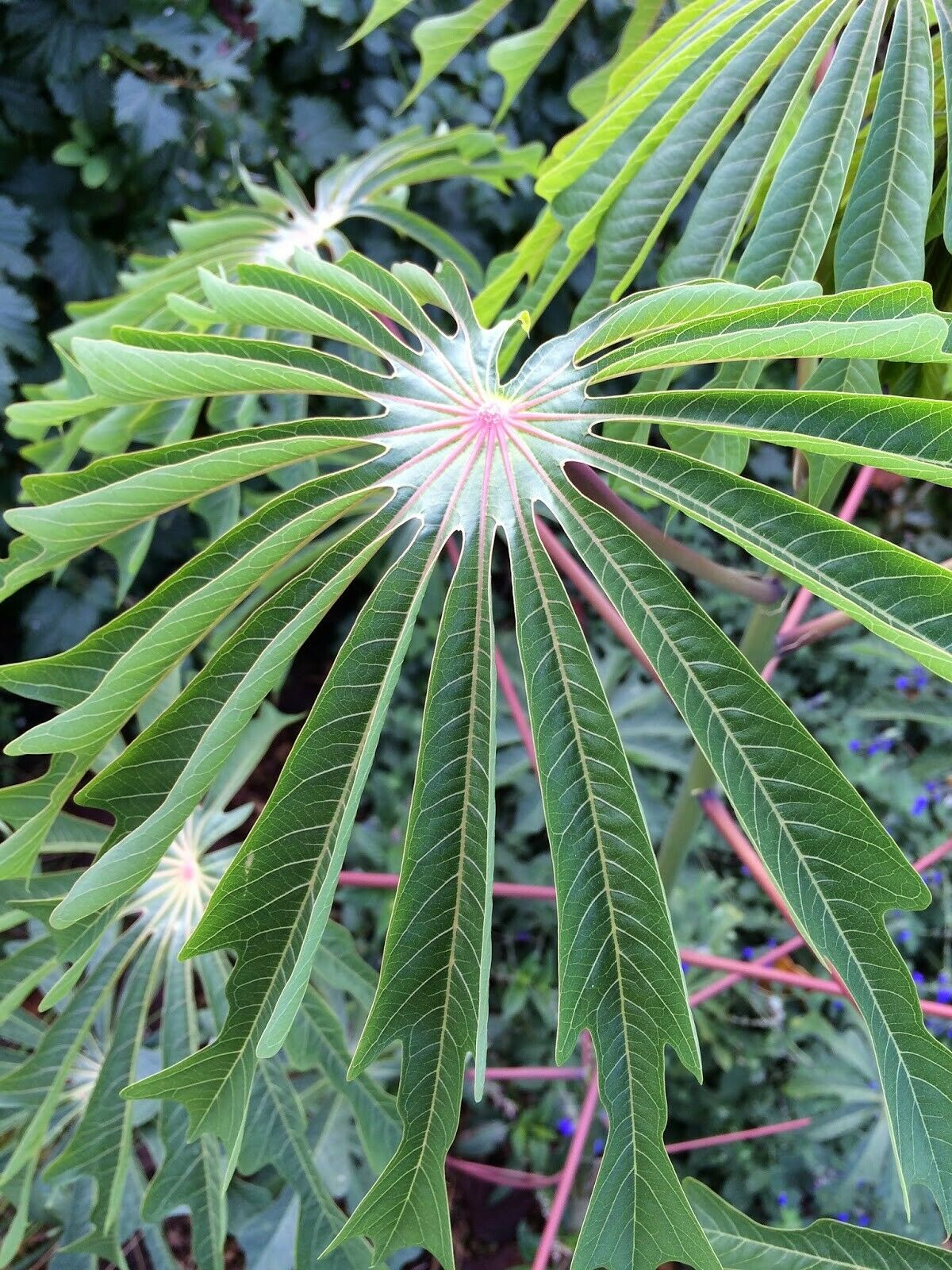 Manihot Grahamii (3 Seeds rare tropical foliage plant huge leaves .exotic seeds