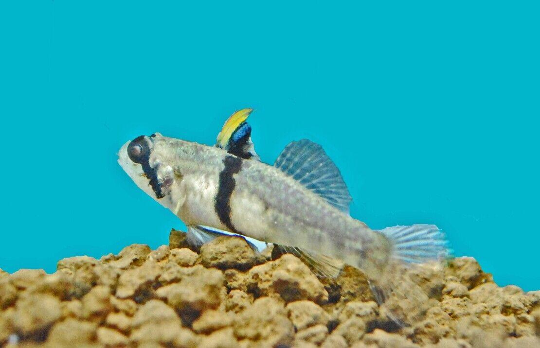 10 (DIECI) (DIECI) (DIECI) x redigobius balteatus (Skunk Goby) - RARE  f81f22