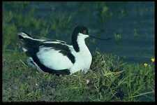 268030 Blackcrowned Avocet A4 Photo Print