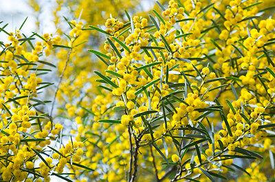 die leuchtend gelben Blüten des Goldregens verschönern ihre Umgebung !