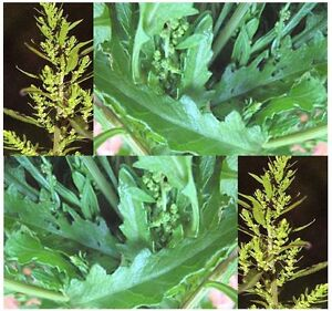 200-Epazote-Herb-seeds-Dysphania-ambrosioides-Combined-S-amp-H